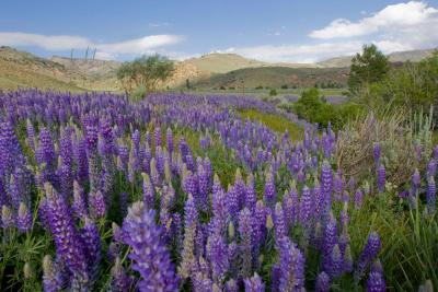 Photo of Lupine in a meadow