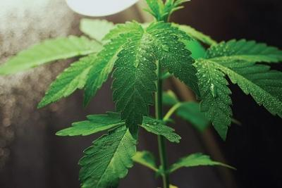 cannabis picture
